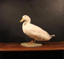 Farmyard Duck