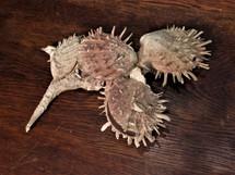 Spondylus Barbatus Cluster