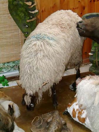 Exmoor Sheep