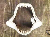 Short Fin Mako Shark