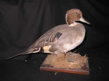 Pintail Duck