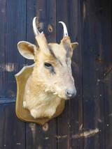 Mutjack Deer