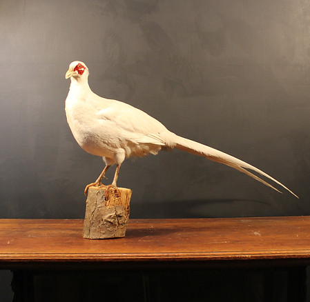 Cock White Pheasant