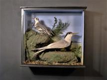 Tern / Wader