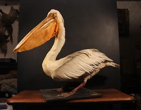 Grey Pelican