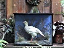 Albino Partridge