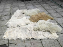 Sheep / Large Goat