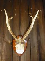 Szechwan Roe Deer