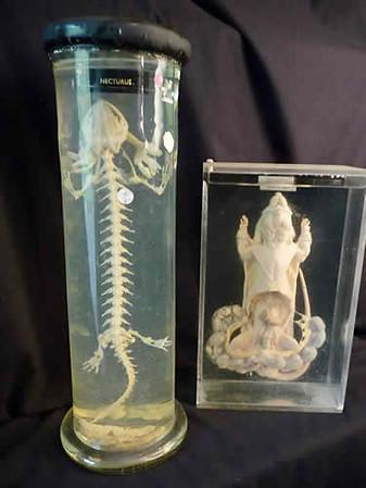 Lizard Skeleton / Disected Rat