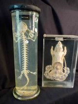 Lizard Skeleton / Disected Rat