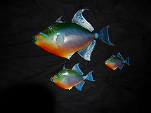 3 Painted Trigger Fish