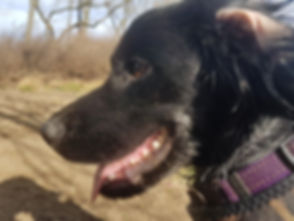 diabetic alert dog, medical alert dog, cocker spaniel