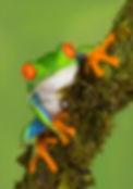 4 Cuchara_Lisa_14_red-eyed-gree-tree-fro