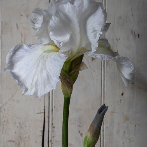 White Iris on White II