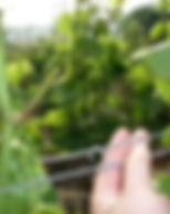 220px-Trellising_Fer_grapevines.jpg