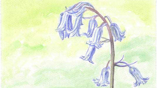 Spring Bluebell