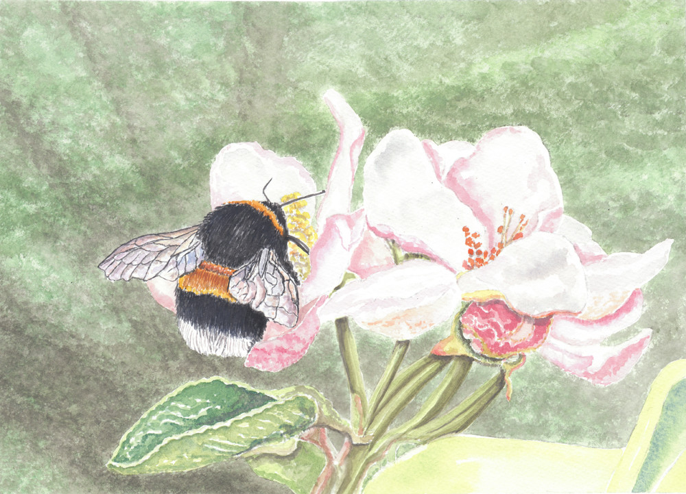 Bumble Bee On Rose Blossom