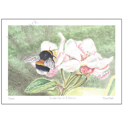 Bumble Bee On Blossom, Print A4 or A3