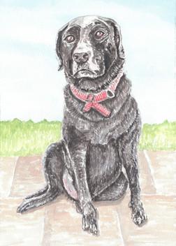 Labrador Portrait