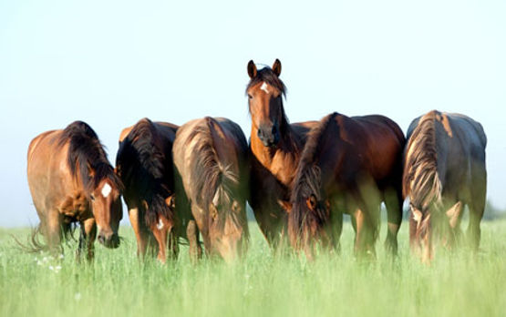 troupeau-chevaux observe.jpg