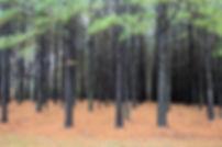 florestas-plantada.jpg