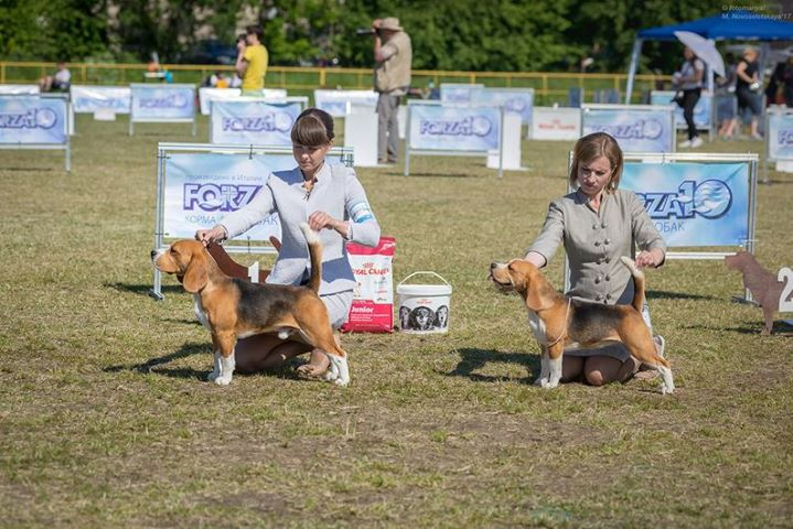 Best junior of beagle speciality St.Petersburg