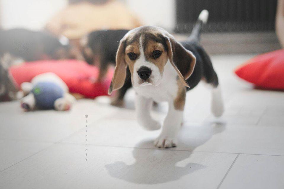 бигль щенок