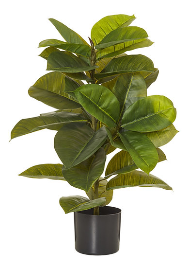 Rubber Plant - Garden Pot