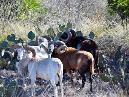 Mouflong Sheep