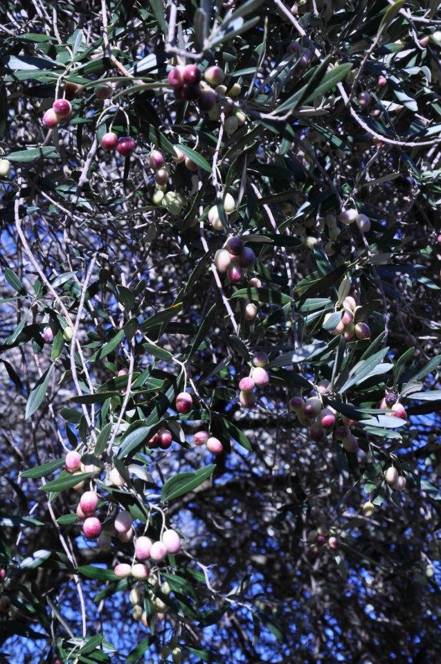 Casale Senni Olive