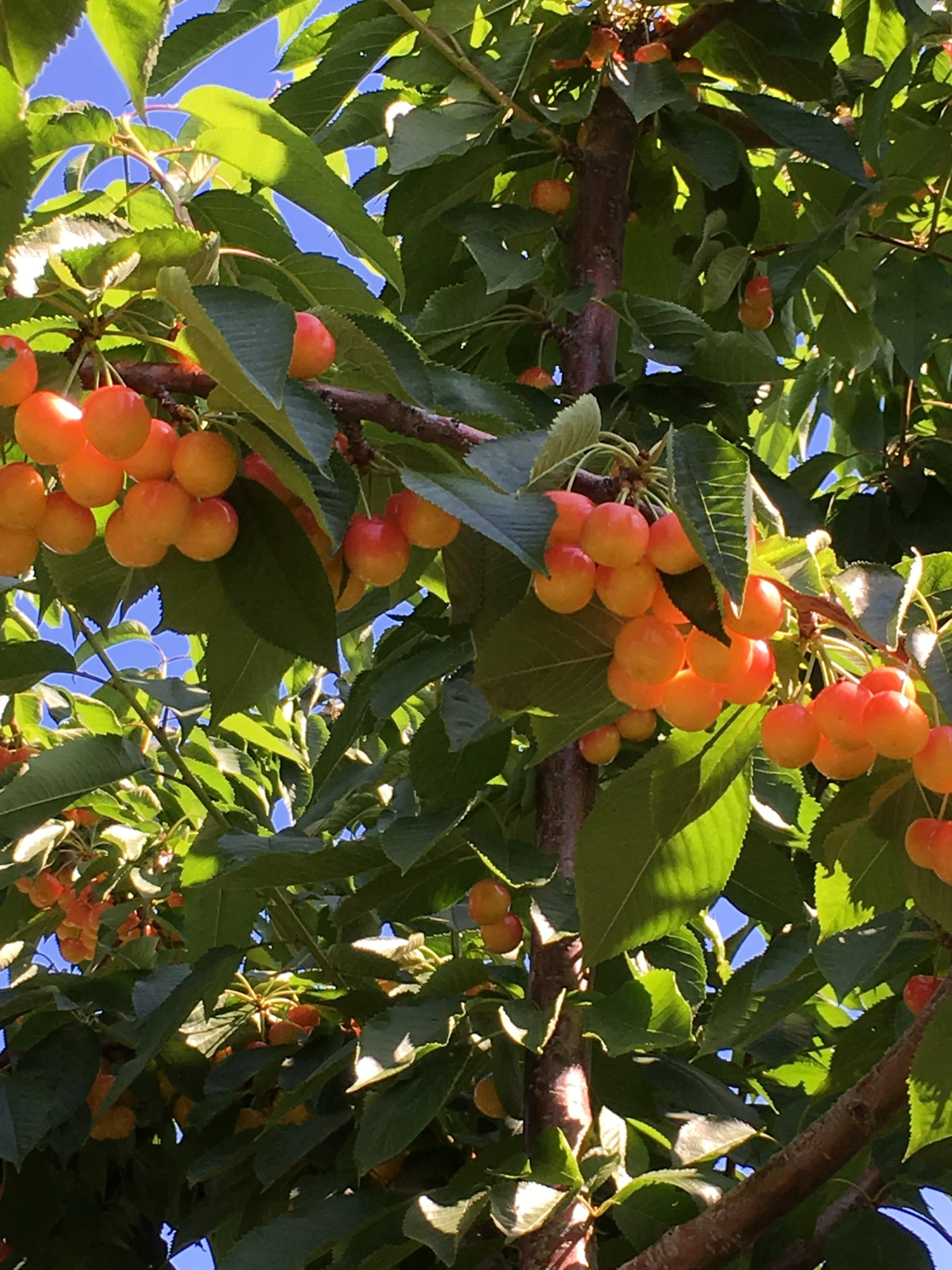 Cherries Season Near Adventure Bay Verno