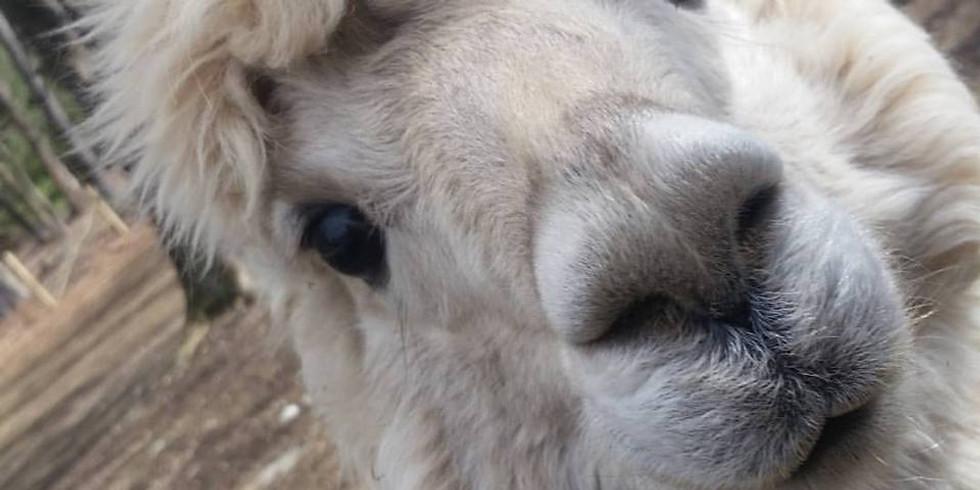 National Alpaca Days at LilyMoore Farm