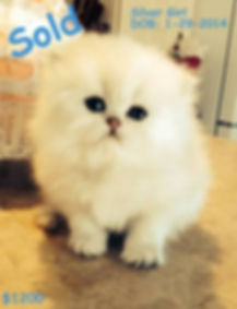 Persian Kitten, doll face persian kitten, white persian kitten for sale, tecup persian kitten for sale.Golden Persian, Persian Kitten, White Persian Kitten, Teacup Persian Kitten, Blue eyed Persian Kitten, Dollface Persian Kitten,Silver Persian Kitten, Black Persian Kitten,Red Persian Kitten,Blue Persian Kitten, Calico Persian Kitten, Flat Faced Persian Kitten, Extream Face Persian Kitten, Sweet Face Persian Kitten for sale
