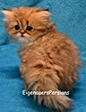 Golden Persian Kittens For Sale.2.JPG