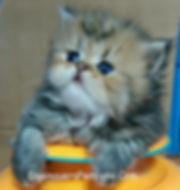 Persian Kitten For Sale- persian Cats For Sale-Persians For Sale