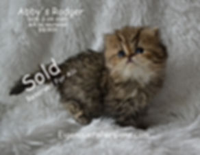 Rodgefr,,,. Persian Cats For Sale, persi