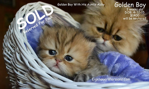 Persian Kittens For Sale,Persians For Sale, Teacup Persians For Sale