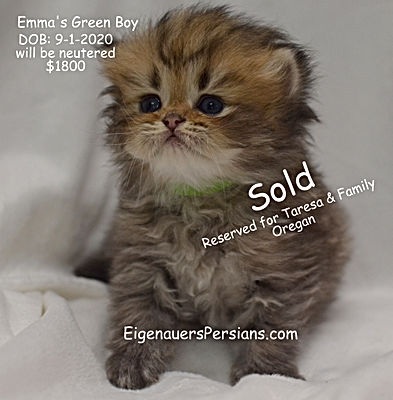 Wisconsin Golden Persian Kittens For Sale In Wisconsin