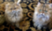 pERSIAN kITTENS FOR SALE 2.jpg