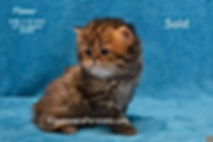Persian Cats For Sale-Persians Kittens F