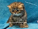 Golden Persian Kittens For Sale.1.JPG
