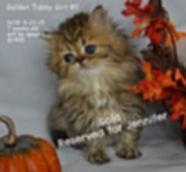 Golden Persian, Persian Kitten for sale, White Persian Kitten, Teacup Persian Kitten, Blue eyed Persian Kitten, Dollface Persian Kitten,Silver Persian Kitten, Black Persian Kitten,Red Persian Kitten,Blue Persian Kitten, Calico Persian Kitten, Flat Faced Persian Kitten, Extream Face Persian Kitten, Sweet Face Persian Kitten