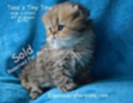Persian Kittens For Sale- Mary.Golden Pe