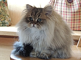 Persian Kittens Available:::: EigenauersPersians.Com. Video You Tube Persian Kittens For Sale. Persian Kittens For Sale: EigenauersPersians.com Golden Persian Kittens For Sale in: Alabama-Alaska-Arizona-Arkansas-California-Colorado-Connecticut-Delaware-Florida-Georgia-Hawaii-Idaho-Illinois-Indiana-Iowa-Kansas Kentucky-Louisiana-Maine-Maryland-Massachusetts-Michigan-Minnesota-Mississippi-Missouri-Montana-Nebraska-Nevada-New Hampshire-New Jersey-New Mexico-New York- North Carolina-North Dakota-Ohio-Oklahoma-Oregon-Pennsylvania-Rhode Island- South Carolina-South Dakota-Tennessee-Texas-Utah-Vermont-Virginia-Washington-West Virginia-Wisconsin-Wyoming.[ultra rare persian kittens][dollface persian kittens for sale][Golden Chinchilla Persian][Calico persian kittens for sale][mythicbells persians][Extasse persians][Castlegate persians][whiskor oaks persians][why do cats purr][why do cats kneed][how long do cats live][why do cats sleep so much][why do cats have whickers][why do cats like boxes][