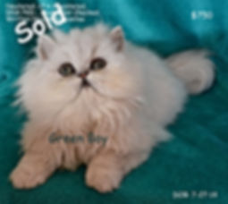 Persian Kitten, doll face persian kitten, white persian kitten for sale, tecup persian kitten for sale.