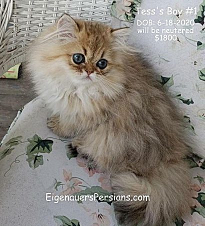 PKD in cats, persian cats, persian kitten images, persian cat pictures,colors of persian cats