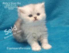 Dollfac e persian kittens for sale