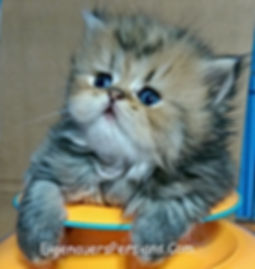 Persian Kittens For Sale-Doll Face Persian Kitten For Sale, Teacup Persian Kittens For sale
