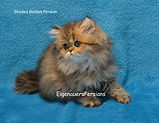 EigenauersPersians.com. Persian Kittens For Sale-Golden Silver Persian Kittens. Persian Cats For Sale-Persians Kittens For Sale-Teacup Persian Kittens for Sale-Exotic Kittens For Sale-Doll Face Persian Kittens For Sale-Powder-Pufff Persian Kittens For Sale-teacup golden Persian kittens for sale-smallest Persian kittens for sale-best Persian kittens for sale-EigenauersPersians.com-Micro Persian Kittens For Sale-white Persian kittens-Chinchilla Persian Kittens For Sale- Shaded Silver Persians For Sale- Chinchilla Persian Kittens For Sale-Golden Persian Kittens For Sale-EigenauersPersians.com