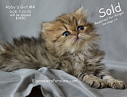Wisconsin Persian Cats For Sale,Golden Persian Cats for sale, Persian Cats for sale.